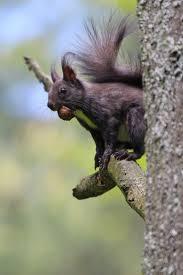 544 best squirrels images on pinterest chipmunks red squirrel