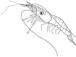coloring shrimp picture