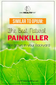 similar to opium the best natural painkiller that grows in your