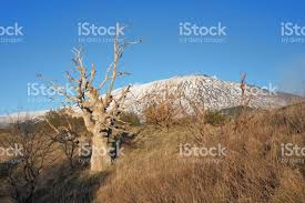 dead oak tree and mount etna stock photo more pictures of blue