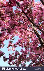 ornamental crab apple tree in bloom calgary alberta canada
