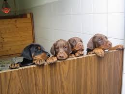 10 boxer dog facts 10 fascinating doberman facts photos