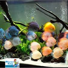 different types of discus fish archives discus fish for sale
