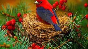 bird wallpaper red bird wallpaper free hd wallpapers