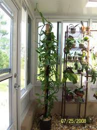 Indoor Vine Plant The Trick To Growing Vanilla Beans Indoors U2013 Realfarmacy Com