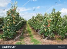 modern apple orchard path between low stock photo 111174632