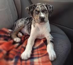 american pitbull terrier puppies louisiana pit bull catahoula mix good pit bulls