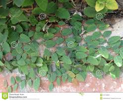 creeping fig climbing fig ficus pumila stock photo image 44746820
