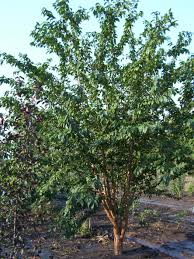 chokecherry morden nurseries and garden center