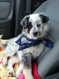 australian shepherd australian cattle dog mix 68 best cattle dog mix images on pinterest cattle dogs