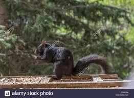 black squirrel sciurus carolinensis feeding at a backyard bird