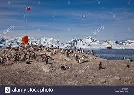 Gonzales Flag Gentoo Penguins Pygoscelis Papua Nesting Under The Chilean Flag