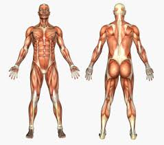 Muscle Spasms Versus Muscle Twitching by Muscle Cramps Spasms Information Sinew Therapeutics