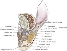 Outside Ear Anatomy Pinna And External Ear Canal Veterian Key
