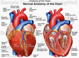 Gross Anatomy Of The Human Heart Anatomy Of The Heart Clipart