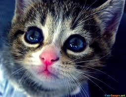 beautiful kittens beautiful kitten with blue eyes and pink nose cutest cuteimages net