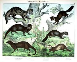 animal u2013 woodland u2013 weasels various vintage printable at