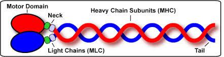 heavy chain light chain myomapr help