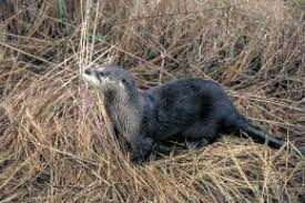 Texas Wild Animals images Wild river otters make a comeback in east texas beaumont enterprise jpg