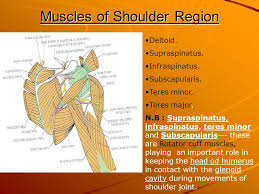 Innervation Of Supraspinatus Skin Of The Back And Scapular Region Ppt Download