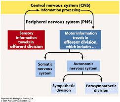 Nervous System Concept Map Flow Chart Nervous System Peripheral Autonomic Parasympathetic