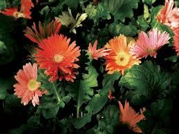 gerbera plant the difference between chrysanthemums gerbera hunker