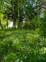 forest glade forest glade with white flowers stock photo picture and royalty