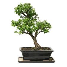 Indoor Trees For The Home by Brussel U0027s Bonsai Dwarf Jade Bonsai Dt 6027dj The Home Depot