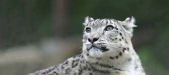 Cats In Small Spaces Video - meet snow leopard sl 20061014 lx3u0122 s1020 e jpg itok u003dn7 nec9n