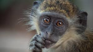 what is the lifespan of a monkey reference com