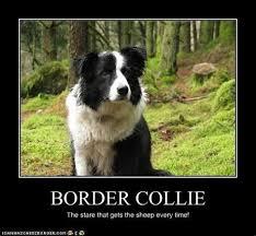 Border Collie Meme - border collie meme 28 images 21 funny dog memes funny border