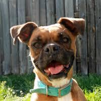 boxer dog breeders near me austin boxer dog rescue rescue dogs in central texas