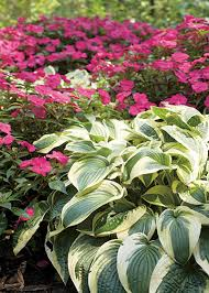 perfect companion plants for hostas garden club
