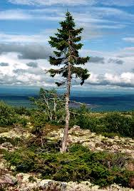 Trees Worldwide The Oldest Tallest Widest And Trees In The World I