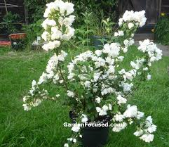 expert advice on the mock orange philadelphus shrub