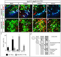 What Is Interneuron Renshaw Cell Interneuron Specialization Is Controlled By A
