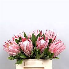protea flower proteas cynaroides king wholesale flowers uk wedding flowers