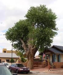 Large Tree Planters by Populus Fremontii Large Jpg