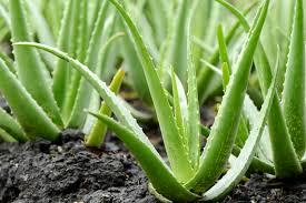 growing aloe vera plants