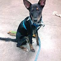 australian shepherd puppies for sale 34655 palm harbor fl pet adoption pick me pet rescue has dogs