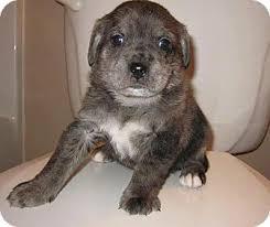 australian shepherd lab mix ewok adopted puppy huntsville al australian shepherd