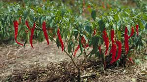native plants of pakistan capsicum annuum l plants of the world online kew science