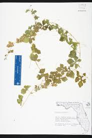 Florida Wetlands Map by Momordica Charantia Species Page Isb Atlas Of Florida Plants