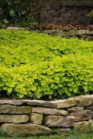 native border plants 49 best tall border plants images on pinterest flower gardening