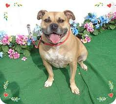 boxer dog adoption los angeles the 25 best pictures of boxers ideas on pinterest funny boxer