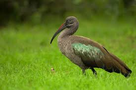 hadada ibis wikipedia