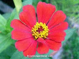 Zinnia Flowers New Red Zinnia Flowers The Curious Gardener