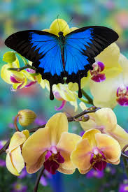 mountain blue tropical butterfly from australia on orchid