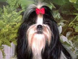 affenpinscher a vendre quebec 8 best chiens images on pinterest dogs animals and accessories