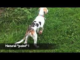 bluetick coonhound dander meet roger treeing walker coonhound youtube